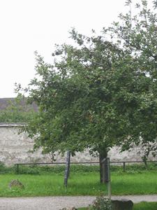 Baum_benediktbeuren